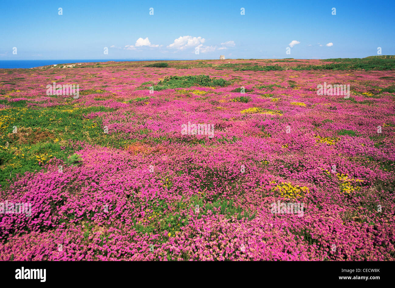 United Kingdom, Great Britain, Channel Islands, Jersey, Wild Flowers, Patterns of Heather and Gorse in full Bloom - Stock Image