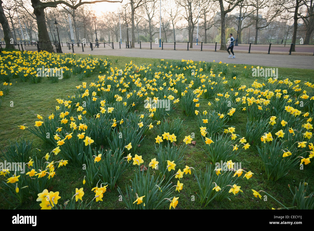 Daffodils Spring Flowers London Stock Photos Daffodils Spring
