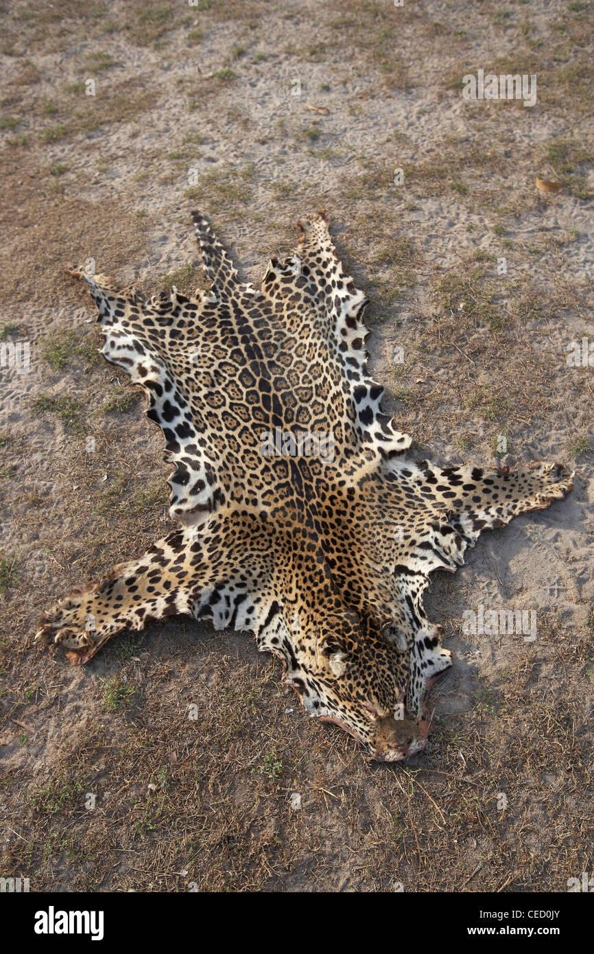 Jaguar pelt, shot after it strayed onto the farm, Rupununi Savannah, Guyana, South America Stock Photo