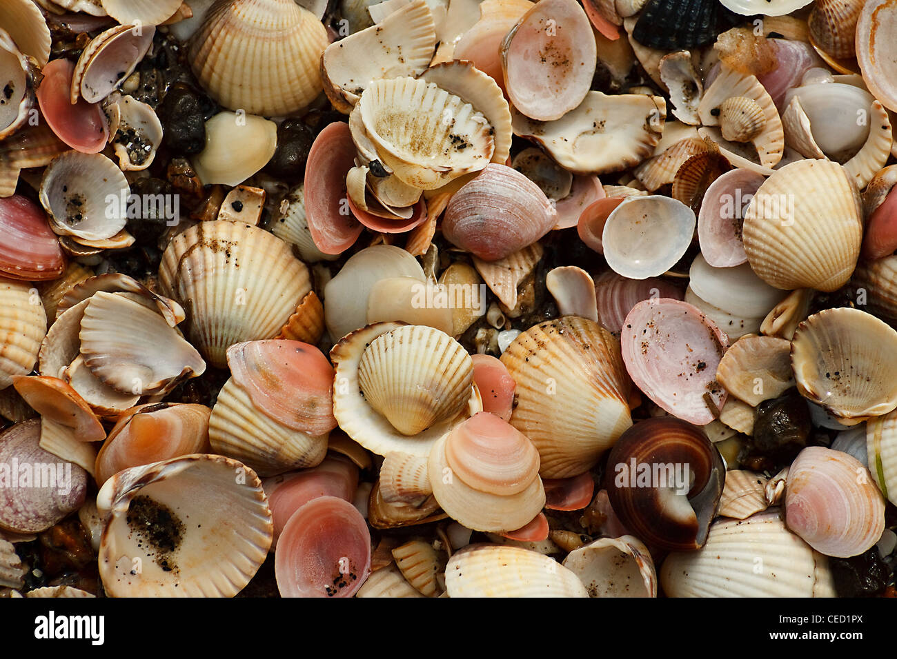 A collection of different shells washed up on the beach - Stock Image