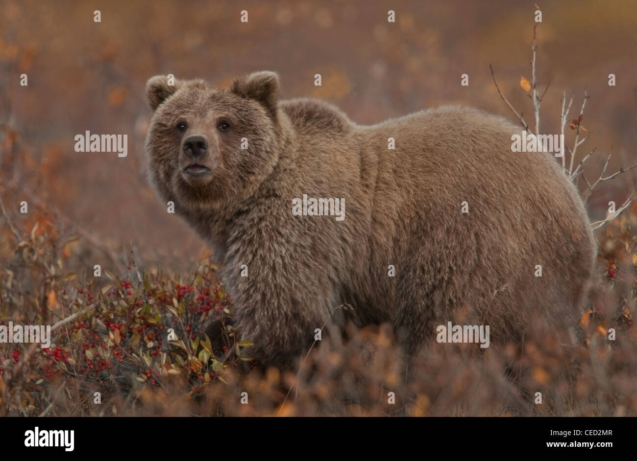 Grizzly Bear (Ursus arctos) pauses while grazing in favored soap berries, a staple in the bear's autumn diet, - Stock Image