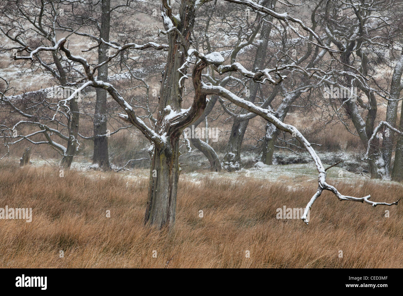 Snow covers tree branches in a field near Blubberhouses, Yorkshire, England - Stock Image