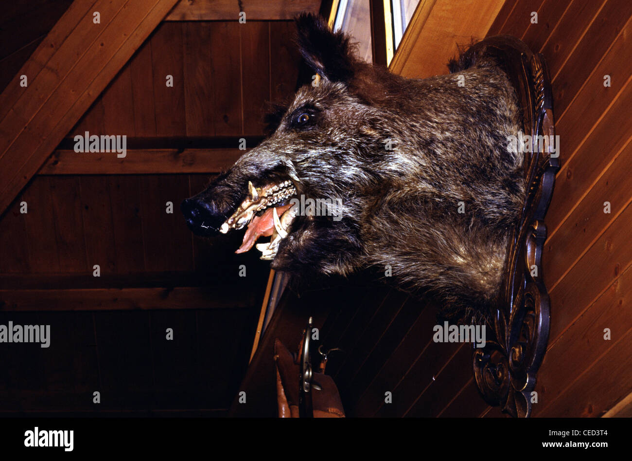 Stuffed Pig hanging on a wooden wall in a ski resort accommodation Alps Switzerland - Stock Image