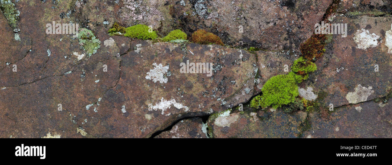 Moss grows between cracks on a rock face in Strid Wood, Wharfedale, Yorkshire - Stock Image