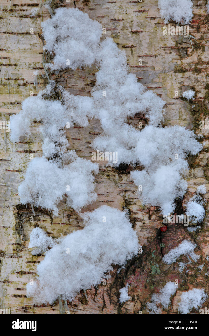 Snow clings to a birch tree (betula) while a ladybird shelters beneath bark in Strid Wood, Barden, Wharfedale, Yorkshire - Stock Image