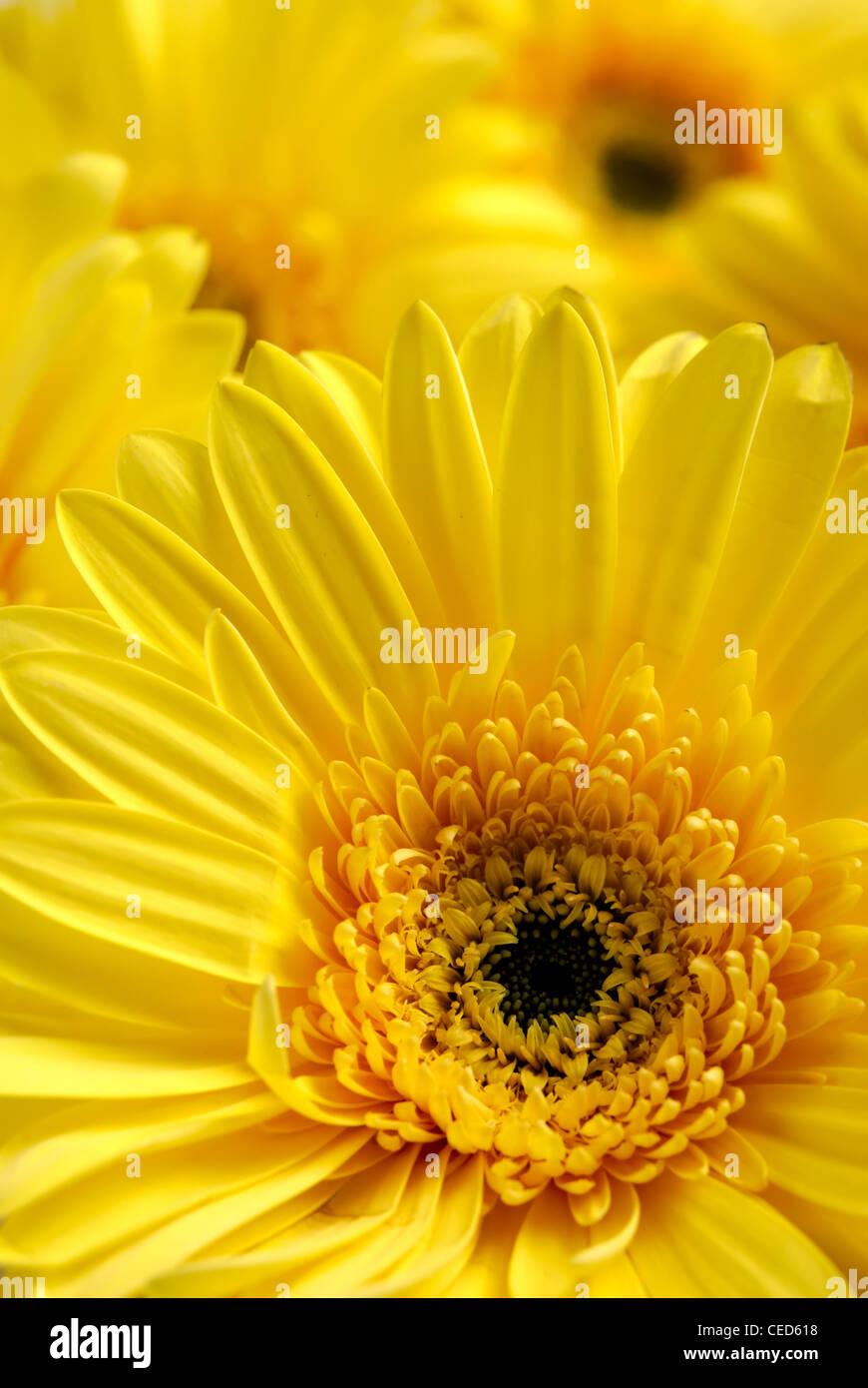 Yellow flowers background - Stock Image