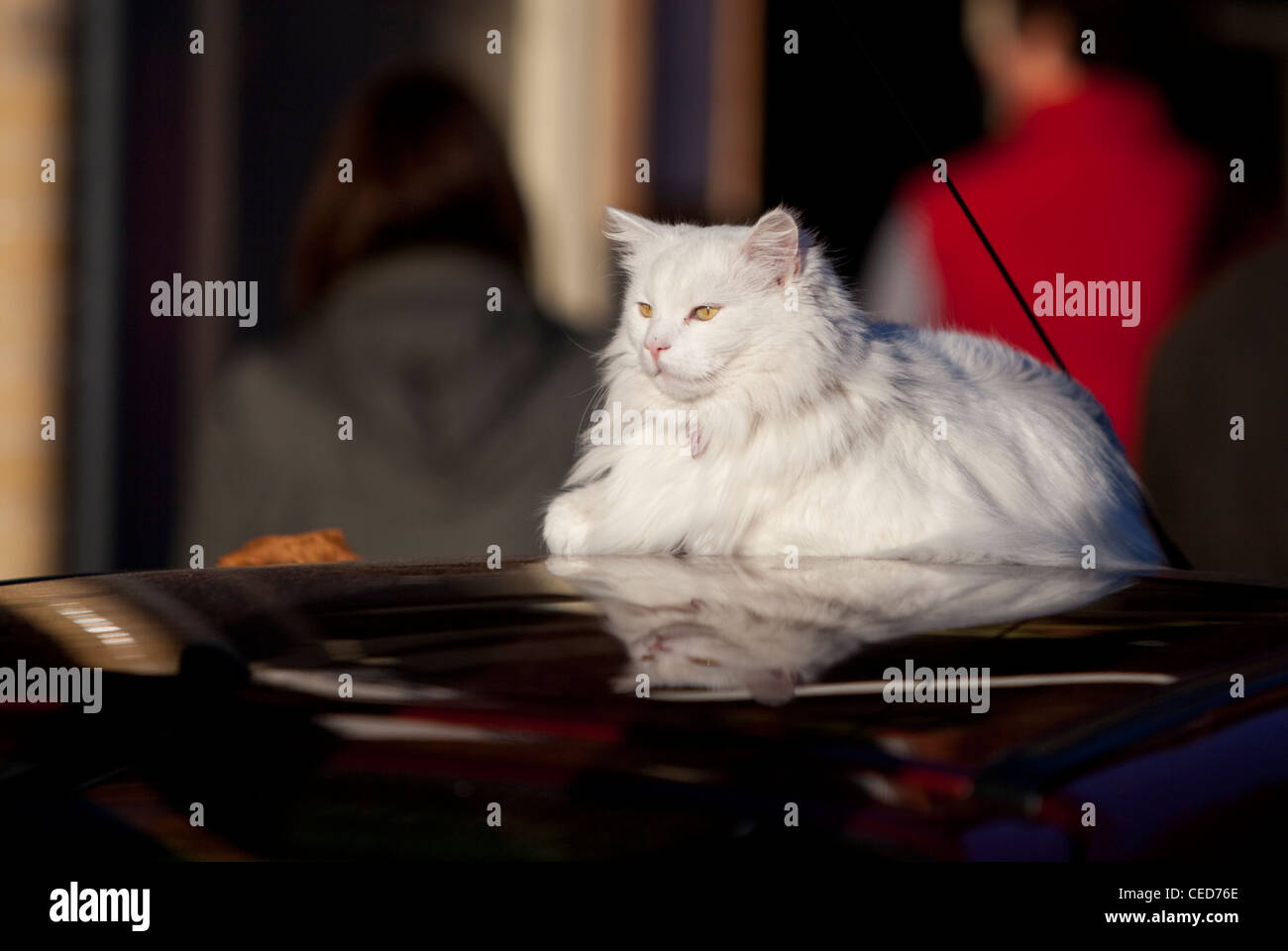 A Persian cat sitting on the roof of a parked car, London, England, UK - Stock Image
