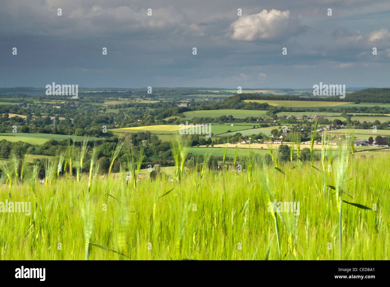 A ripening field of barley on Charlton Down in Wiltshire. Stock Photo