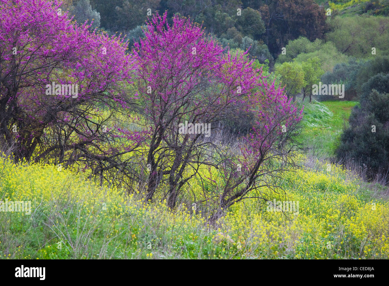 Israel, Upper Galilee, Metula, fruit trees by frontier with Lebanon, early spring Stock Photo