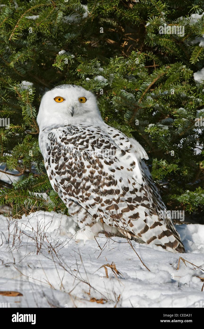 Great Snowy Owl Nyctea scandiacus female North America - Stock Image