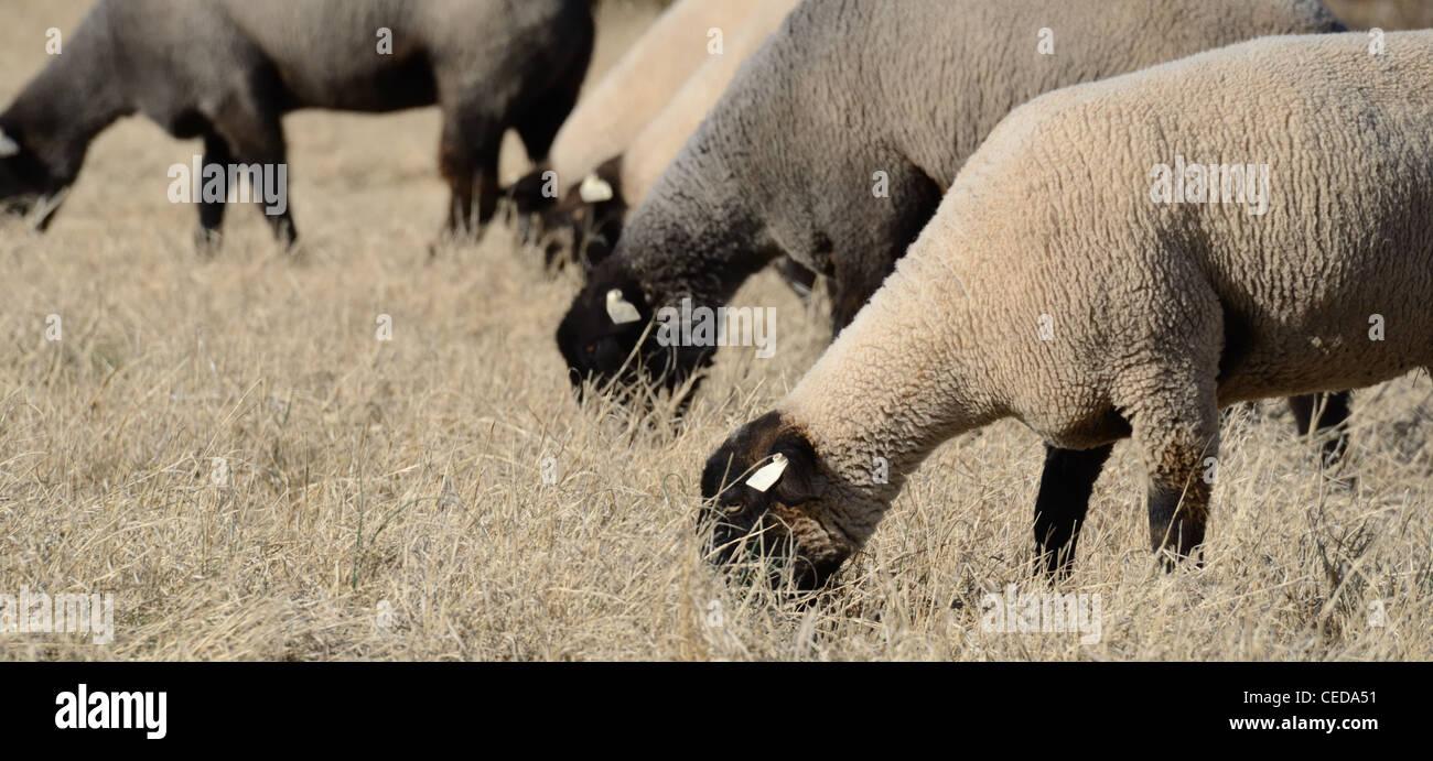 Suffolk sheep grazing in a field. - Stock Image
