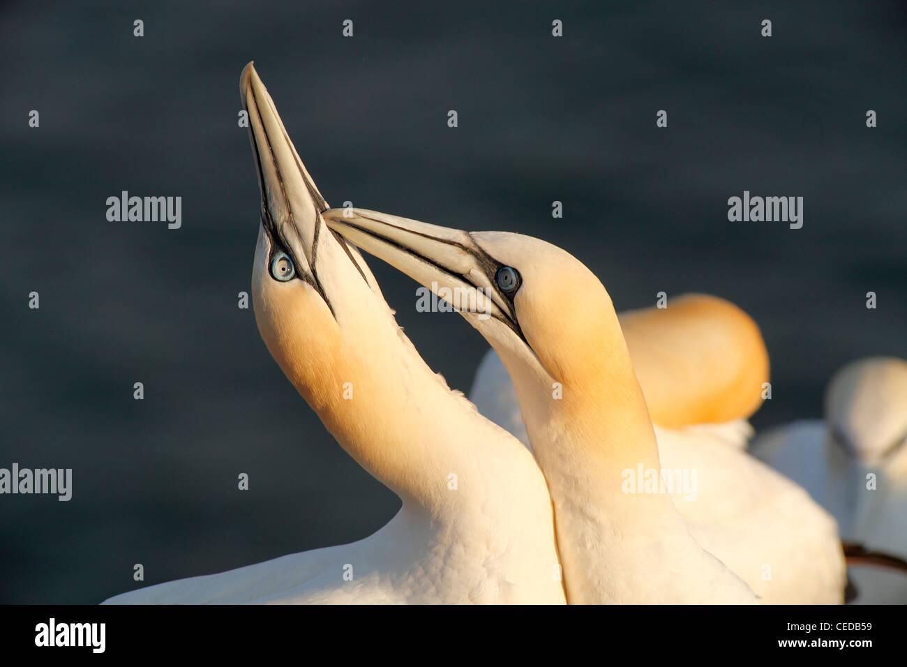 Northern gannets; Latin: Morus bassanus - Stock Image