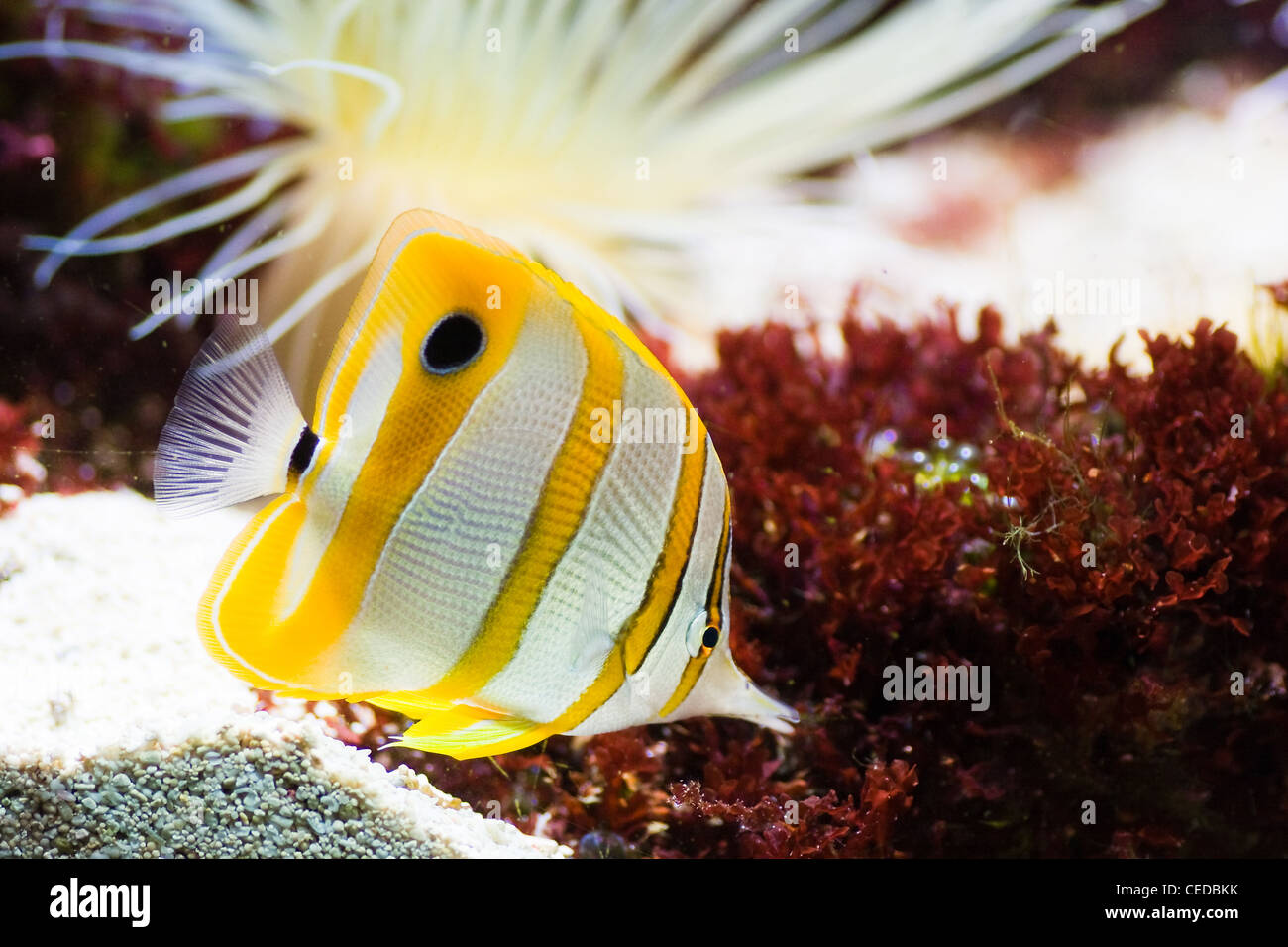 Copperband Butterflyfish, Beak Coralfish or Chelmon rostratus with sea anemone - Stock Image