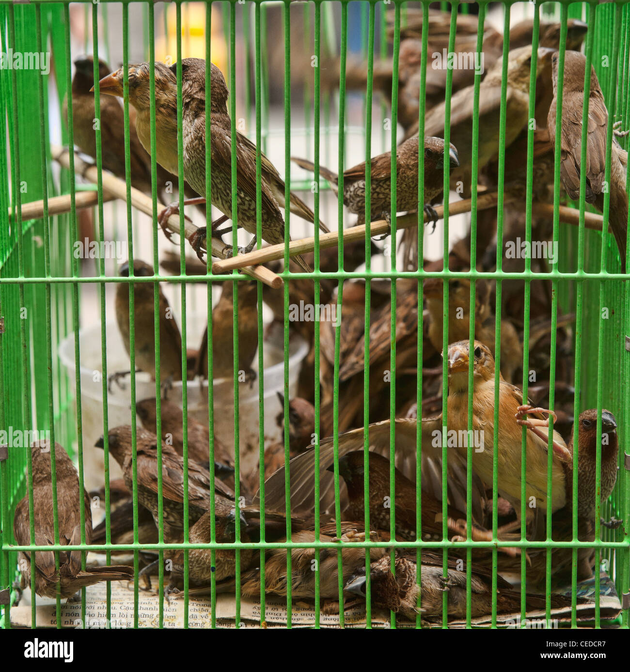 lots of sparrows birds in a cage - Stock Image