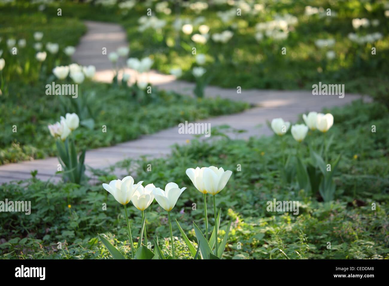 Track in garden among blossoming white tulips - Stock Image