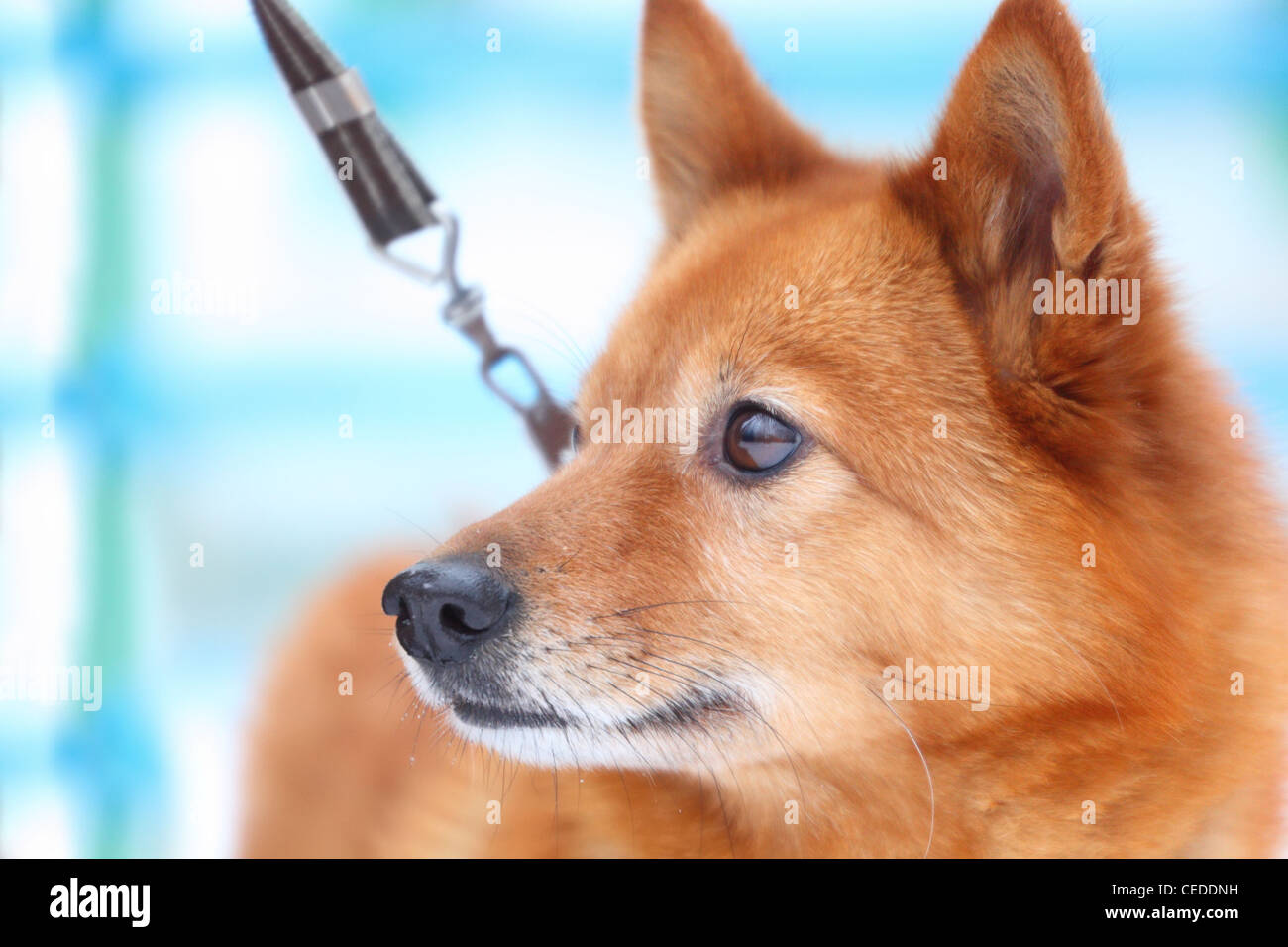 Red dog, karelo-Finnish husky - Stock Image