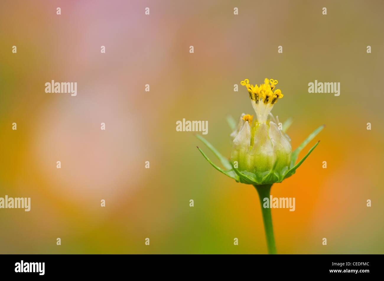 Close up of a single fading cosmos flower, Cosmos bipinnatus - Stock Image