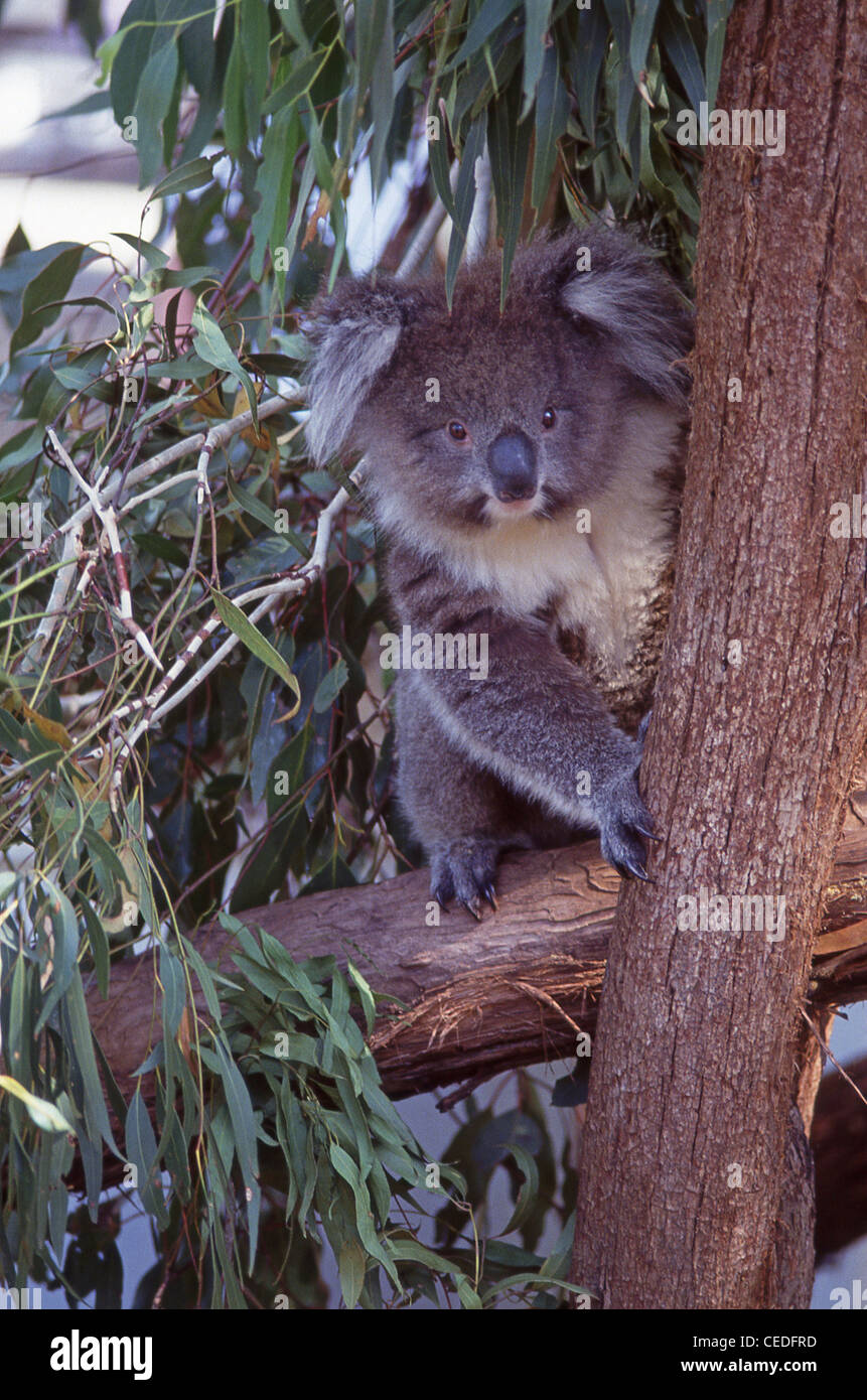 Koala in eucalyptus tree, New South Wales, Australia Stock Photo