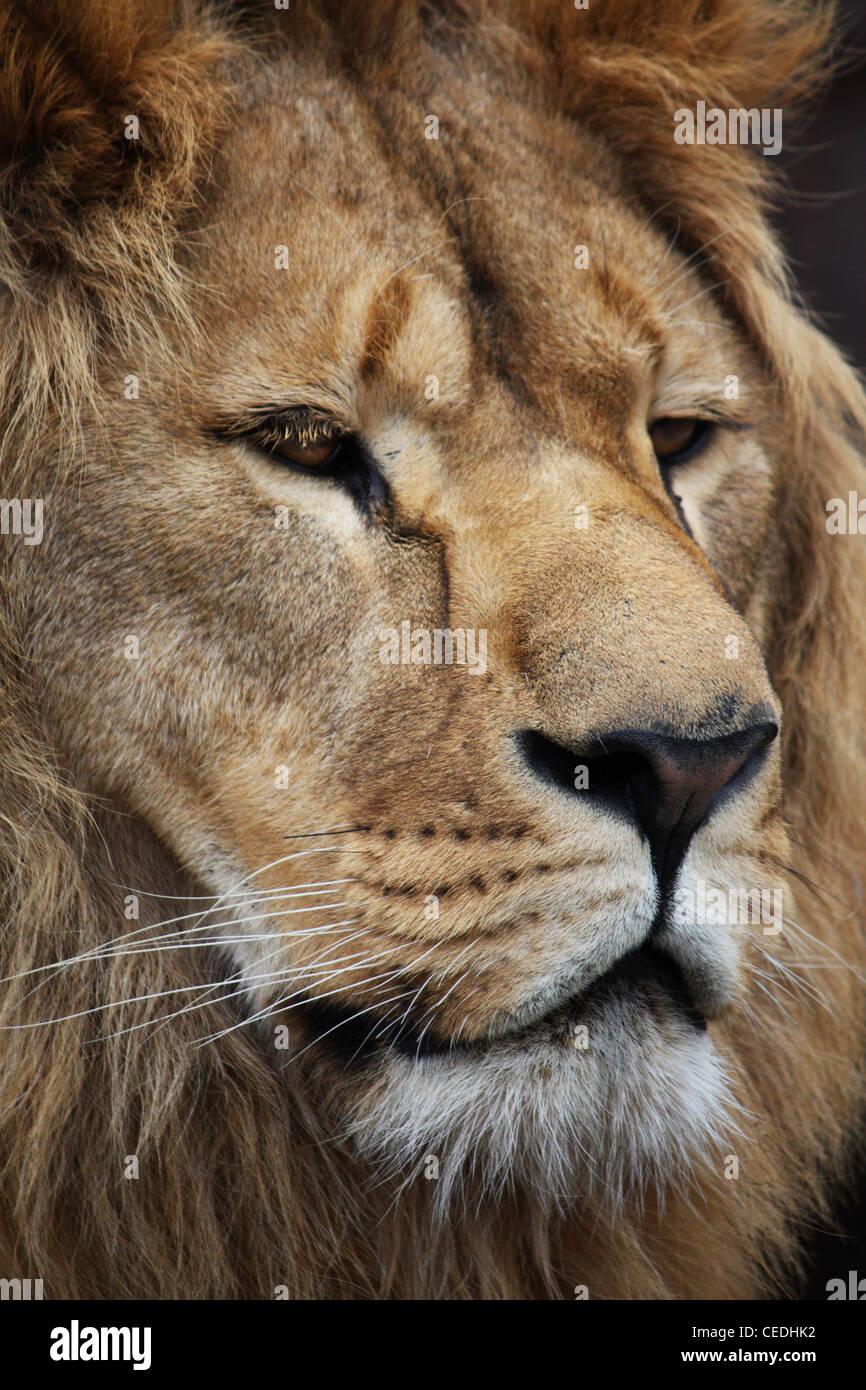 Big beautiful lion portrait Stock Photo