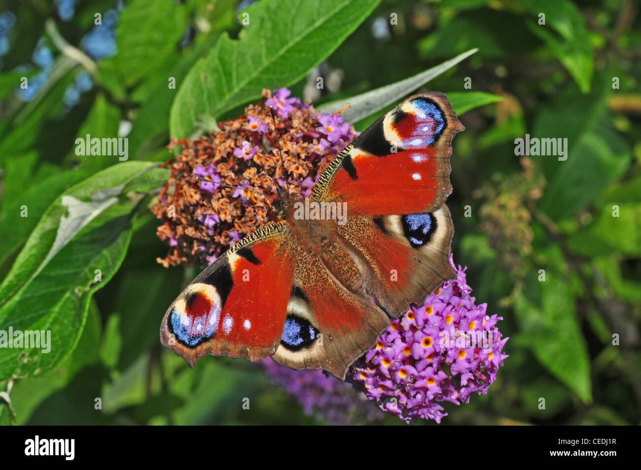 EUROPE, UK, Cheshire, peacock butterfly, Inachis Io Stock Photo