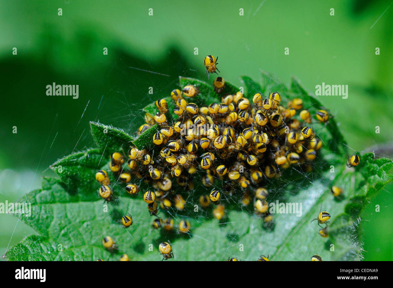 Garden Orb Spider (Araneus diadematus) mass of newly hatched baby spiders, on common nettle plant, Kent, UK - Stock Image