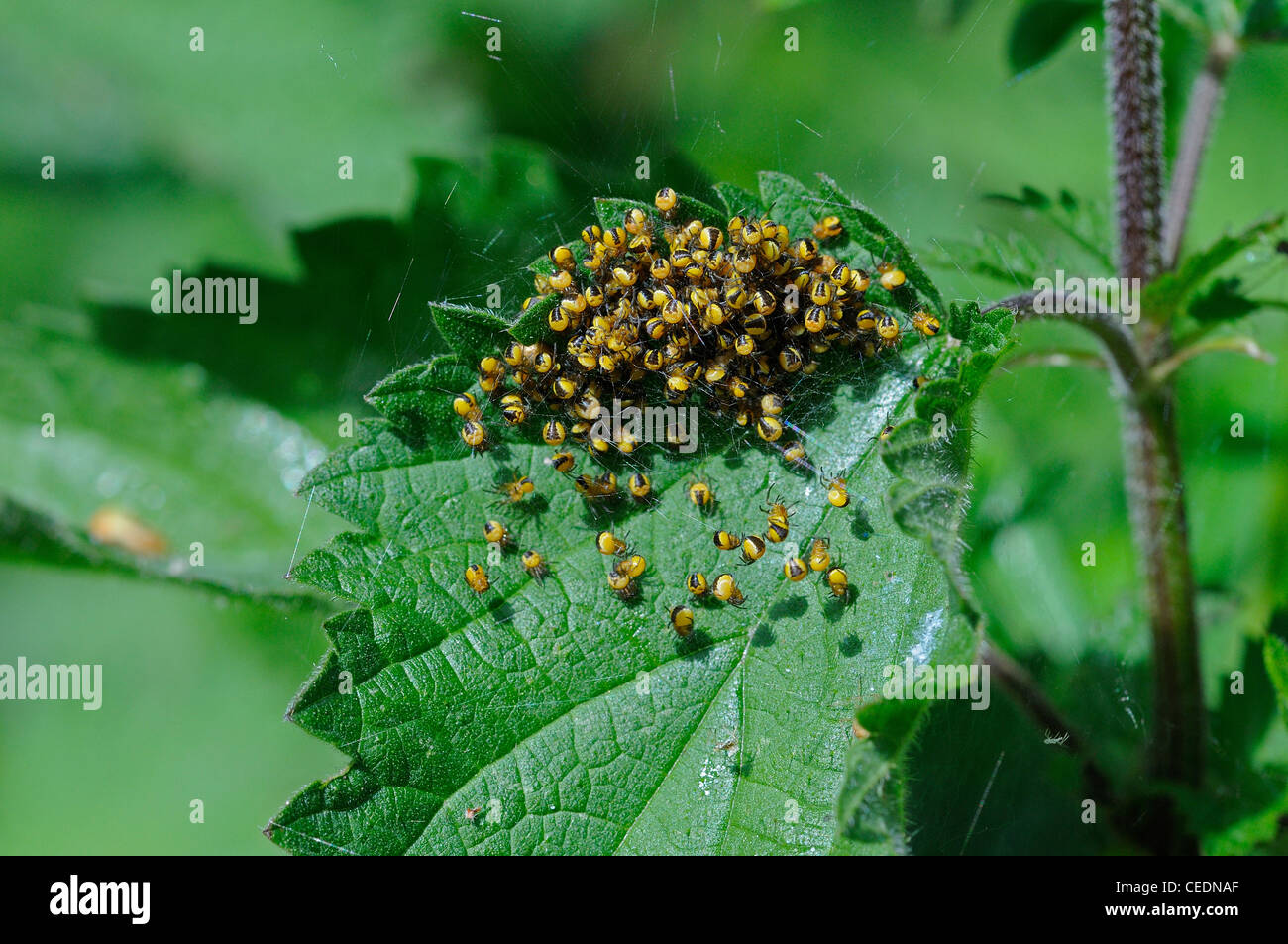 Garden Orb Spider (Araneus diadematus) mass of newly hatched baby spiders, on nettle plant, Kent, UK - Stock Image