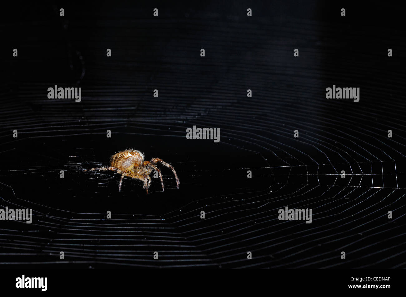 Garden Orb Spider (Araneus diadematus) adult at rest in web, Oxfordshire, UK - Stock Image