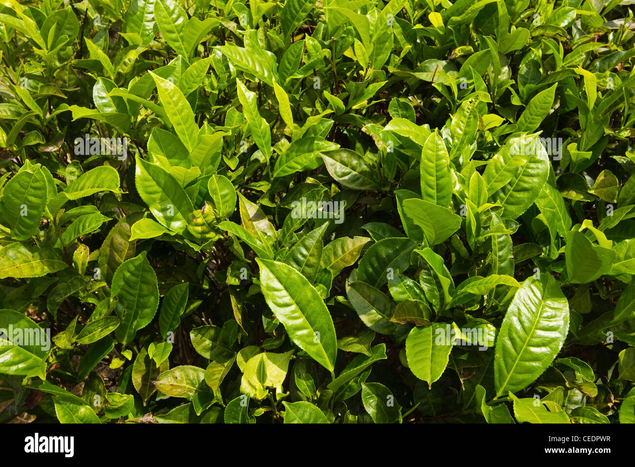 Strongly flavoured, aromatic high altitude Uva tea growing in the Namunukula Mountains; Ella, Central Highlands, Stock Photo