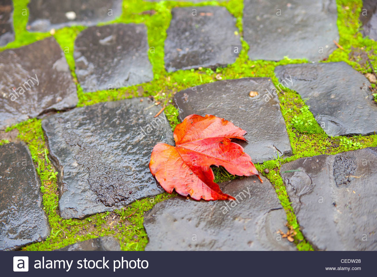 Red leaf on green moss and wet stones - Stock Image