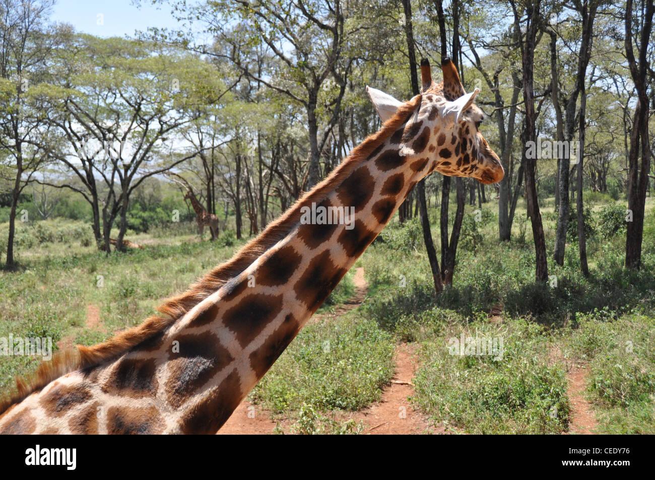 Giraffe. The Giraffe Sanctuary. Nairobi. Kenya - Stock Image