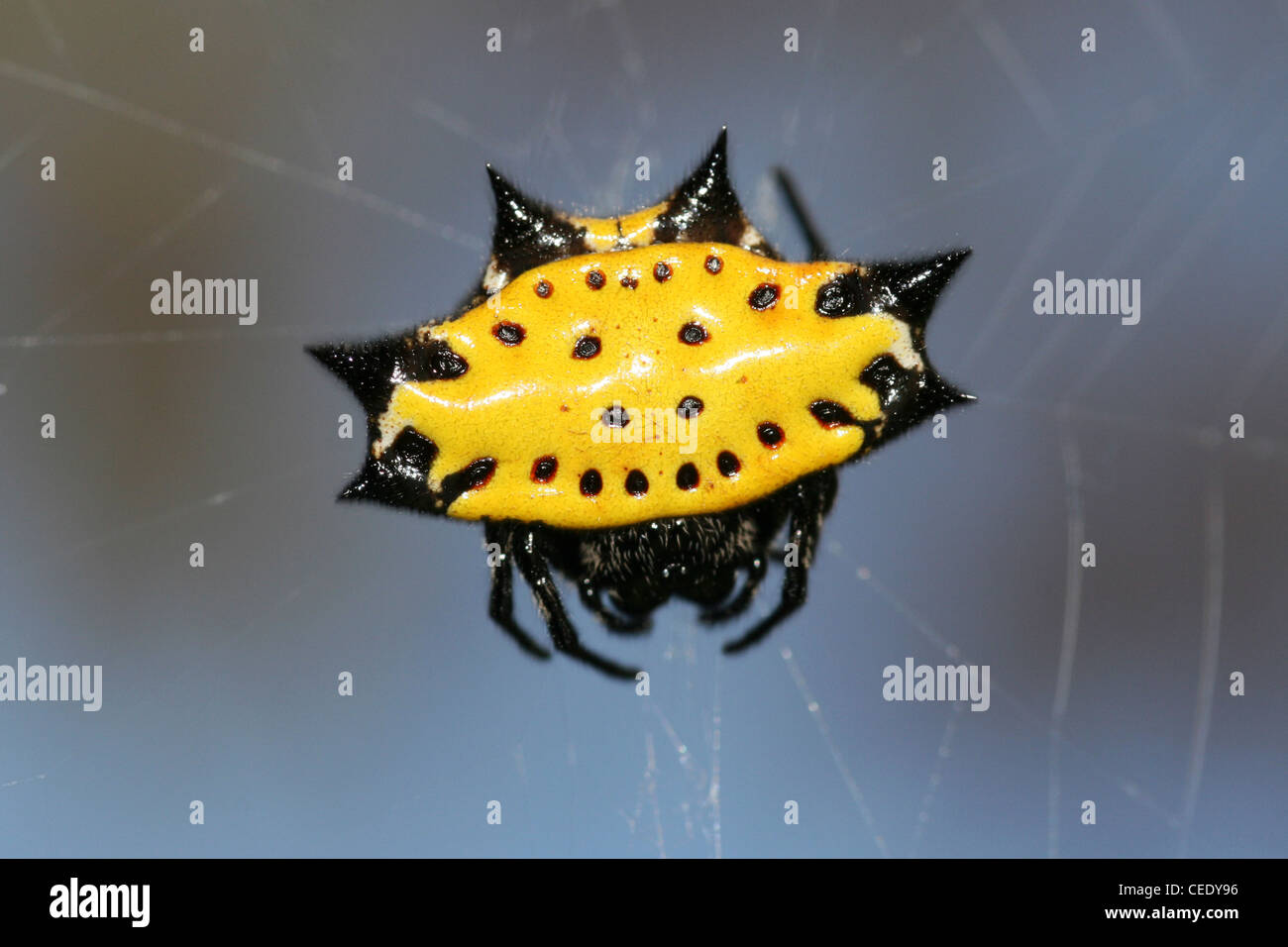 Crab Spider Gasteracantha cancriformis - Stock Image