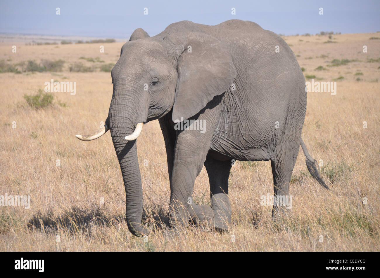 Elephant in the Savanna - Stock Image