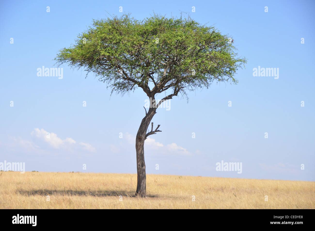 Tree. Savanna, Park Masai Mara, Kenya, Africa - Stock Image