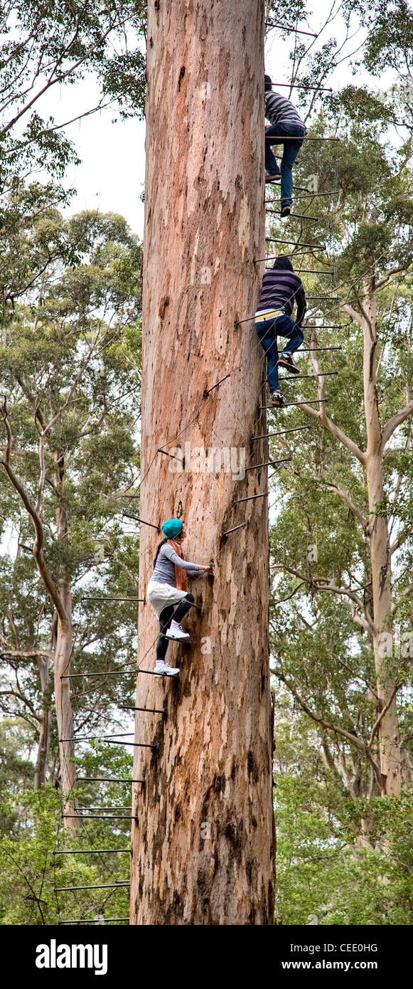 Climbing the mighty Dave Evans Bicentennial Tree in the Karri forests near Pemberton Western Australia - Stock Image