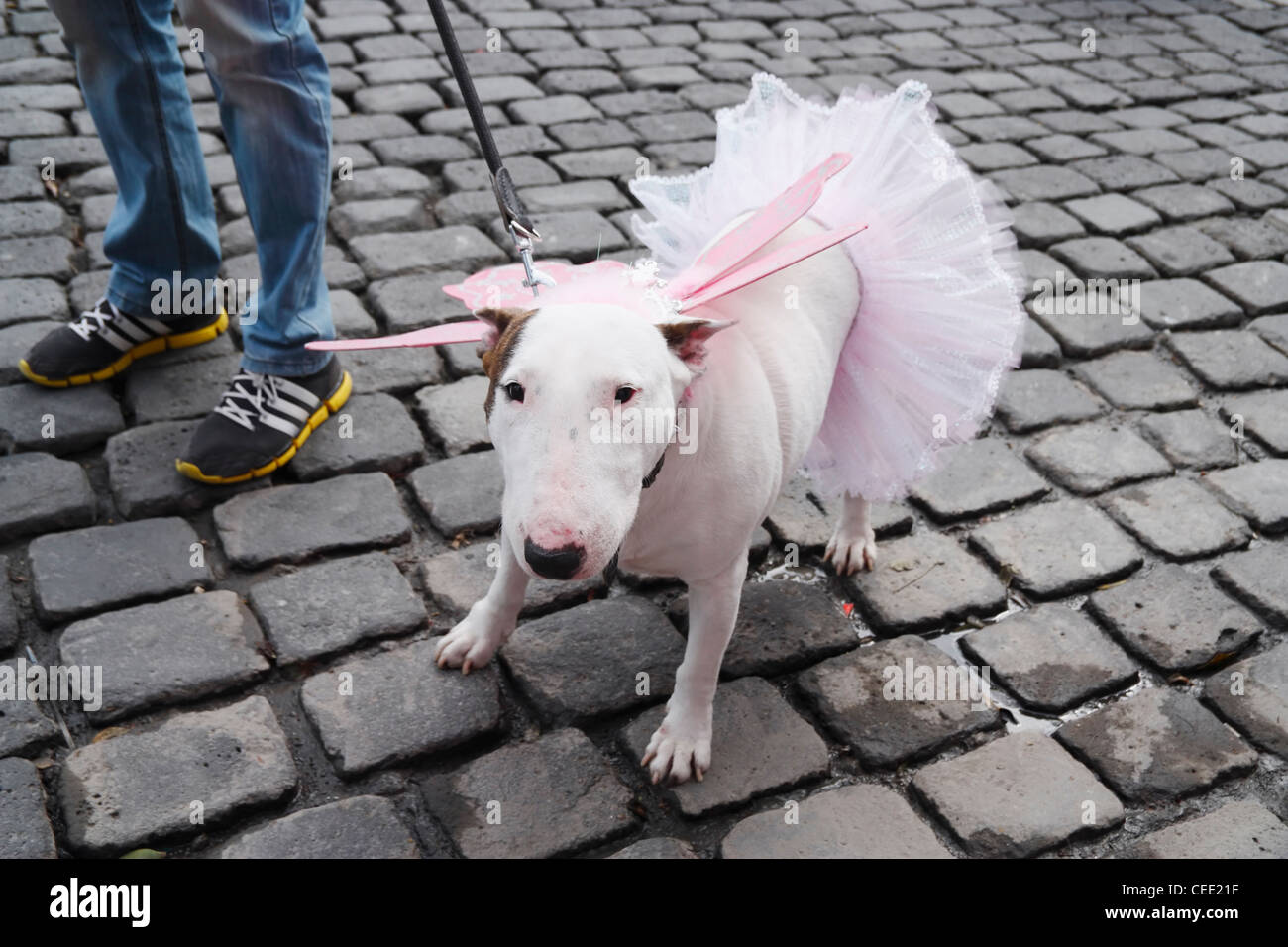 Bull Terrier dressed as Fairy with wings and skirt - Stock Image