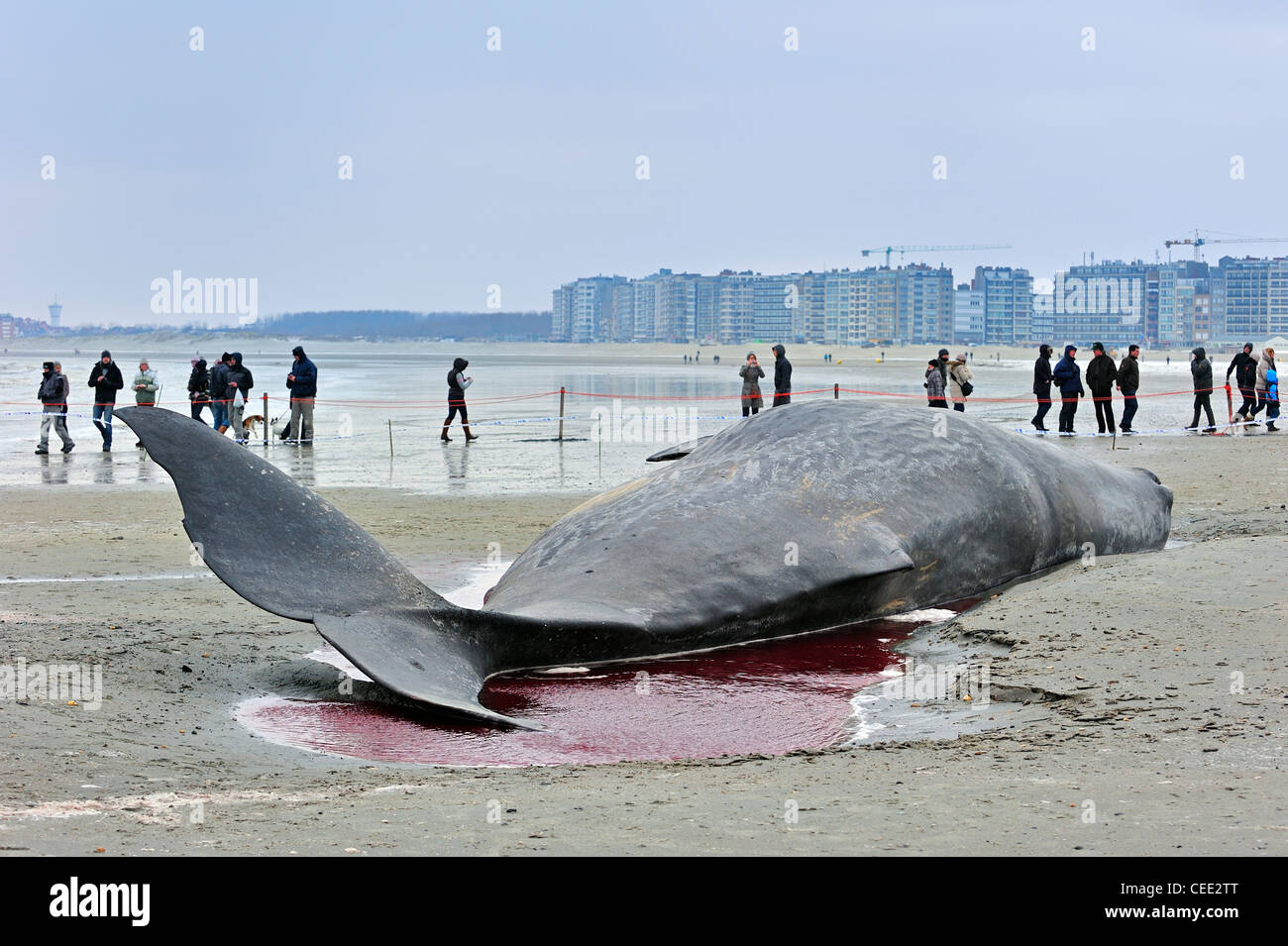 Curious tourists looking at stranded sperm whale (Physeter macrocephalus) on North Sea beach in winter at Knokke, - Stock Image