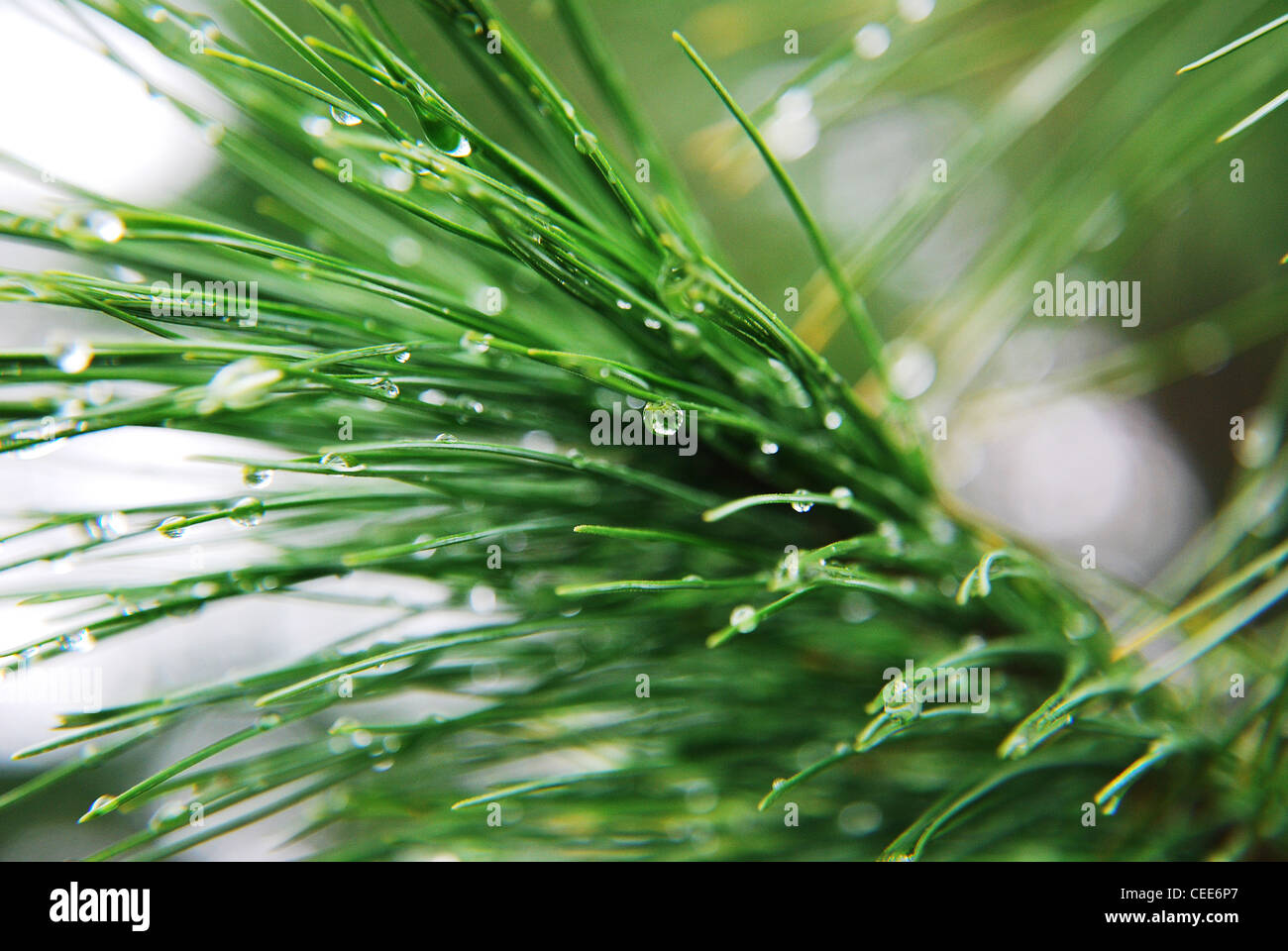 pine,tree,needle,drops,macro,rain,green,fir,flora,park - Stock Image