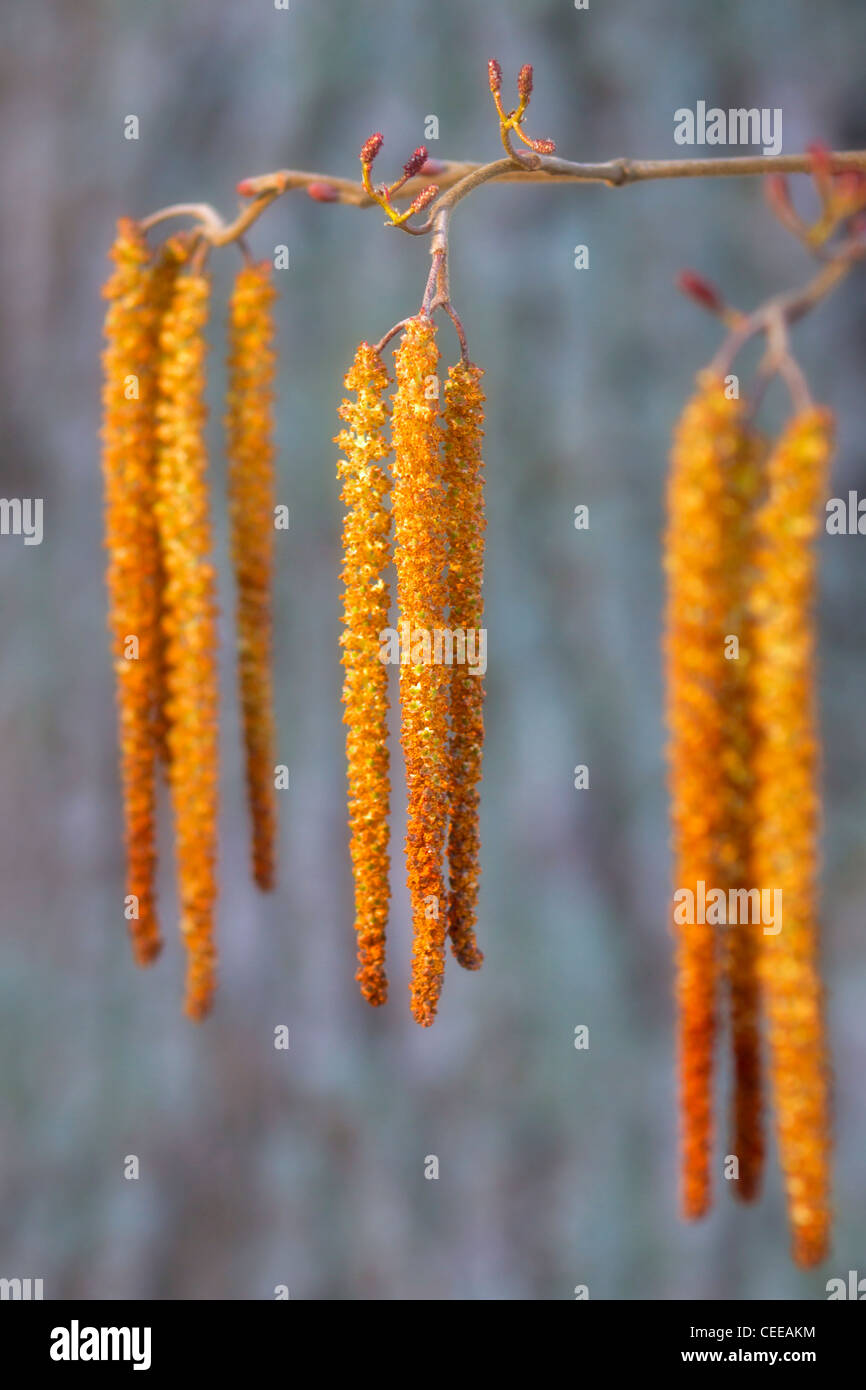 Alder catkins coming out at early spring, taken with a golden diffuse filter. - Stock Image