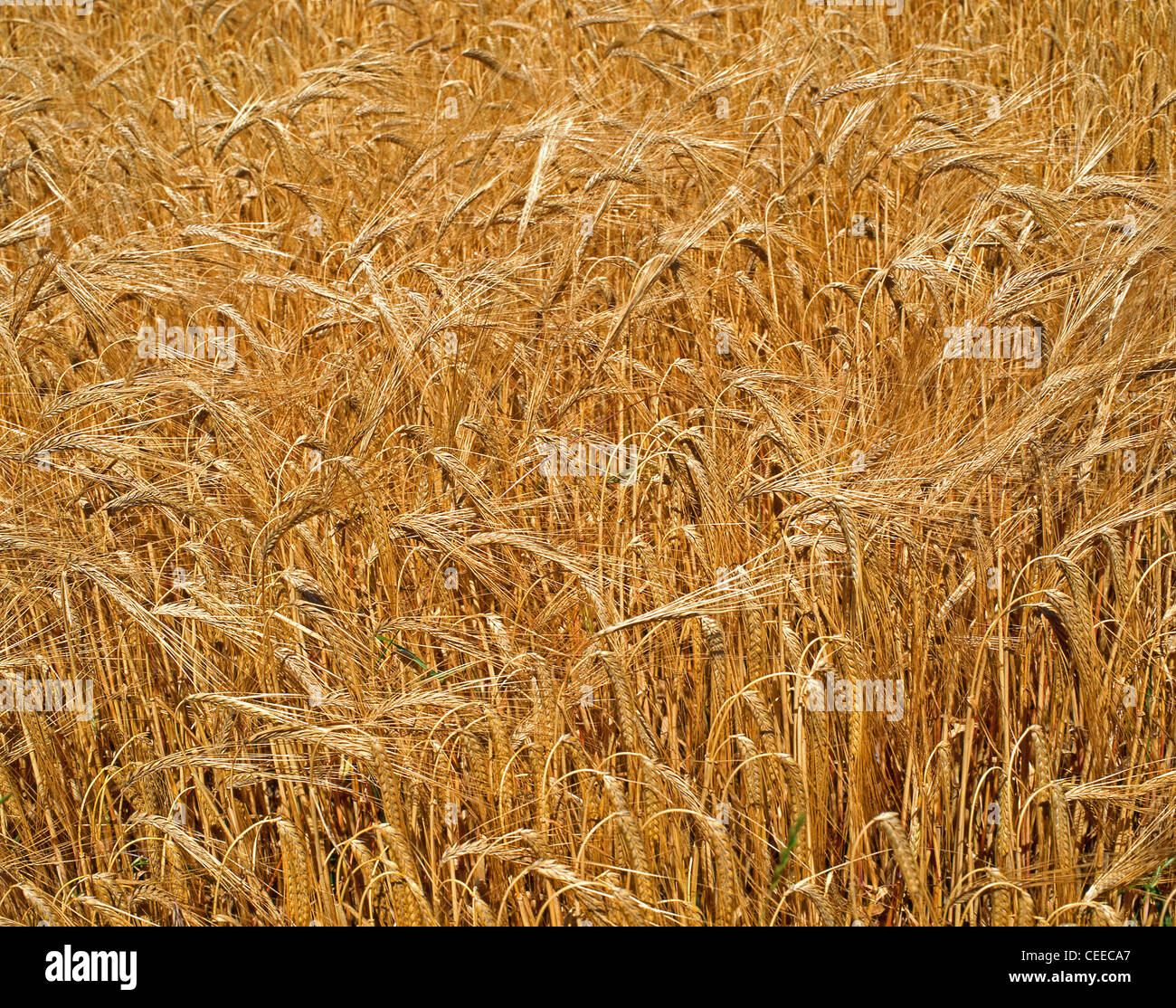 Barley harvest, North Canterbury, Canterbury Region, New Zealand - Stock Image