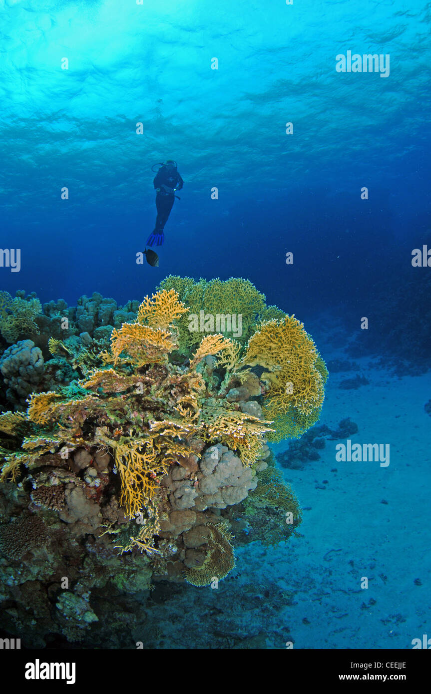Scuba diver and fire coral, Red Sea - Stock Image