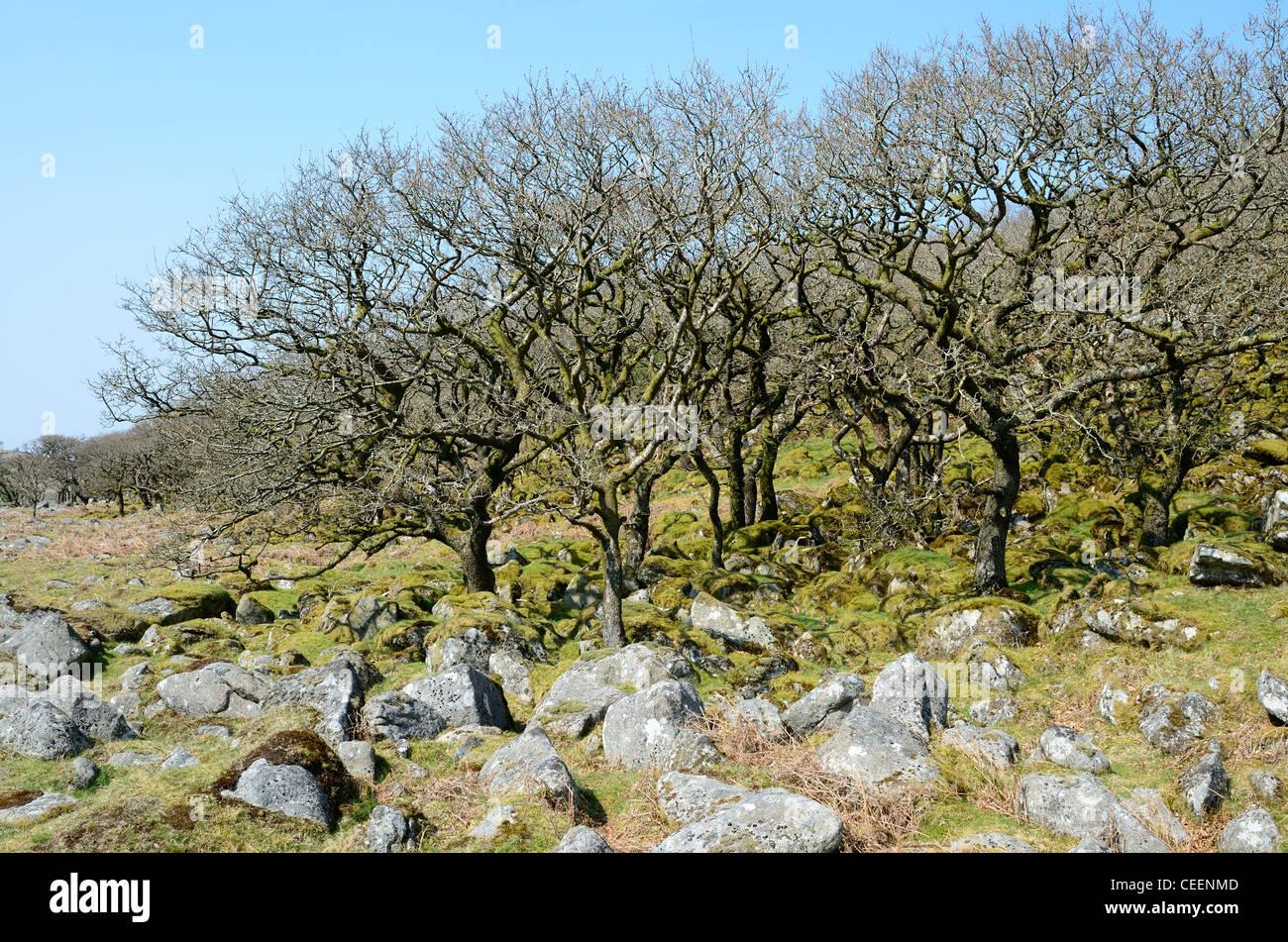 Stunted Oak Trees at Black-a-tor Copse, Dartmoor, Devon - Stock Image