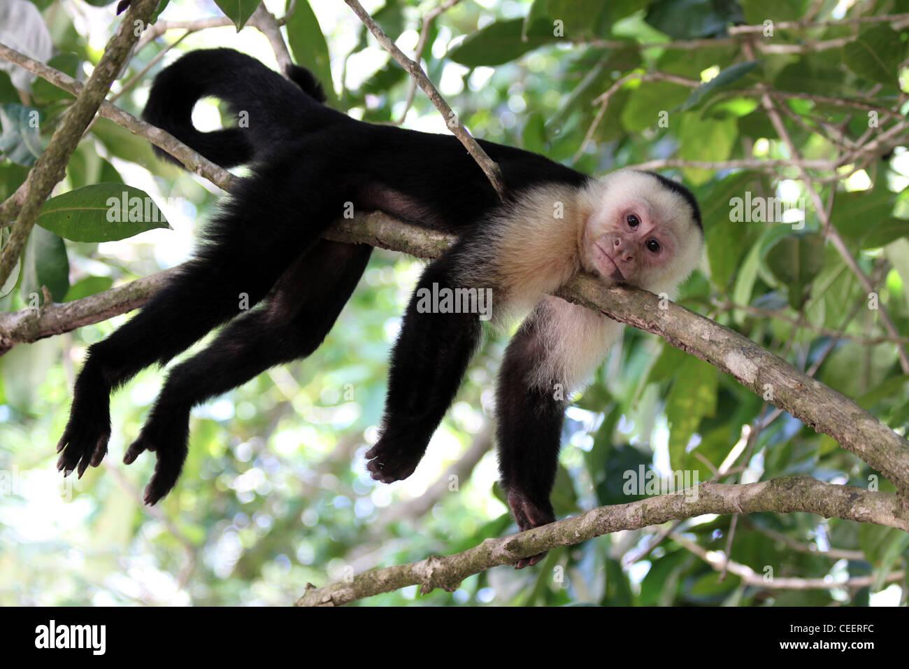 White-headed Capuchin Cebus capucinus Stock Photo