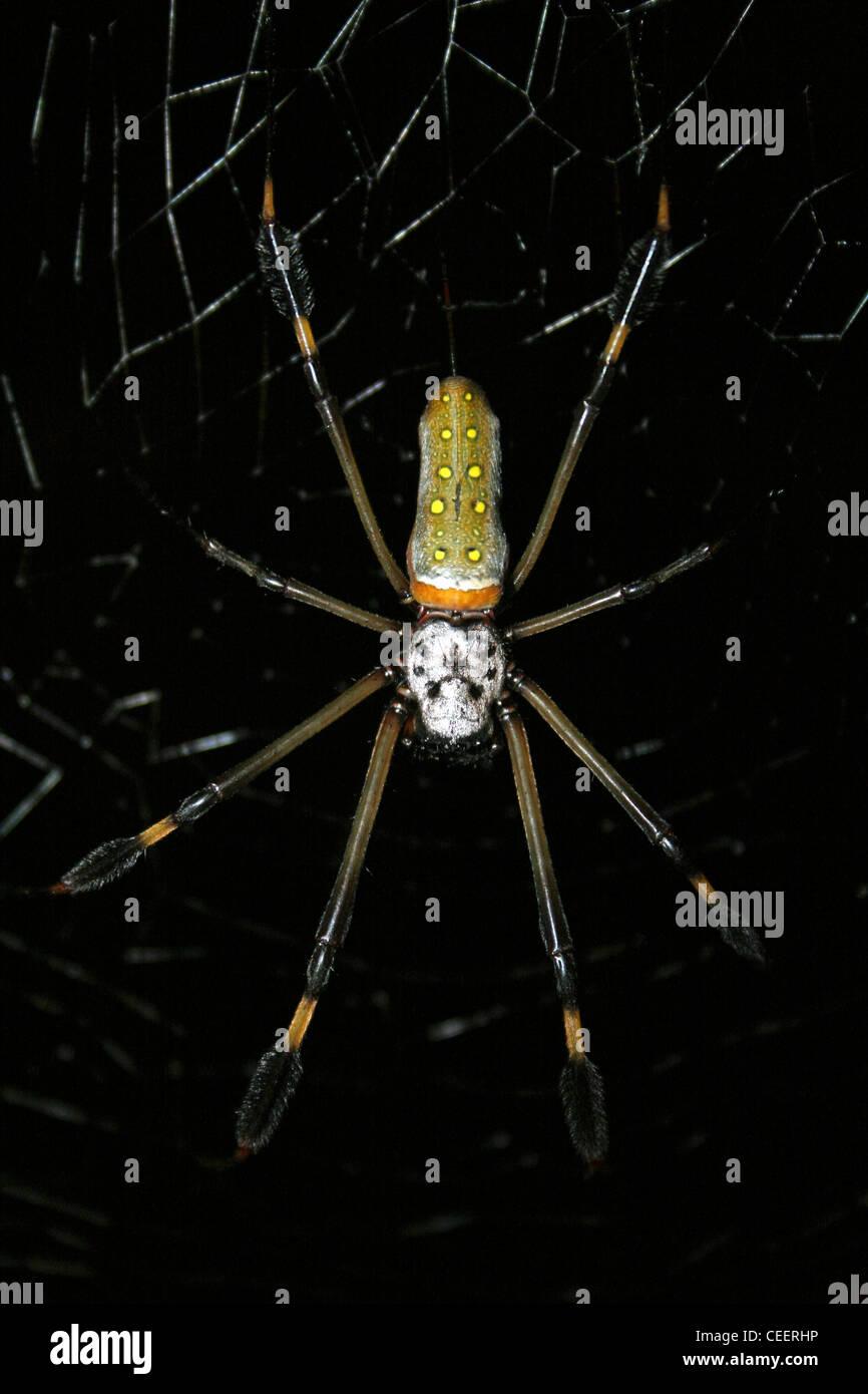 Golden Orb-web Spider Nephila clavipes - Stock Image