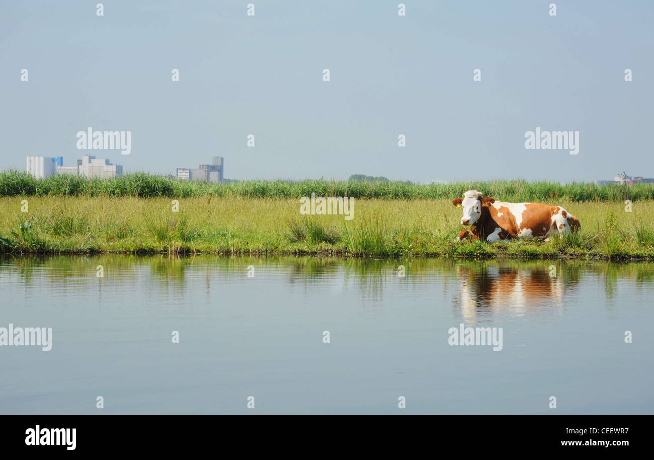 Typical Dutch polder with cow, Jisp, Netherlands - Stock Image