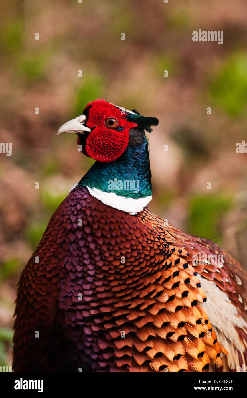 Pheasant 'Pasianus colchicus' on the ground foraging for food in the undergrowth in woodland West Lancs. - Stock Image
