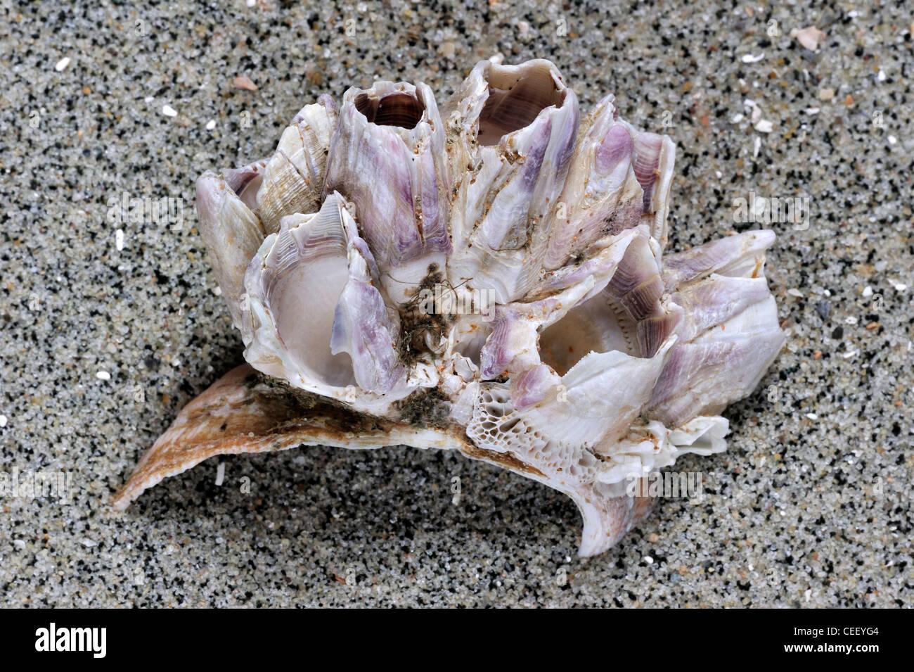 American slipper limpet (Crepidula fornicata) shell on beach with Acorn barnacles (Megabalanus tintinnabulum) growing on it Stock Photo