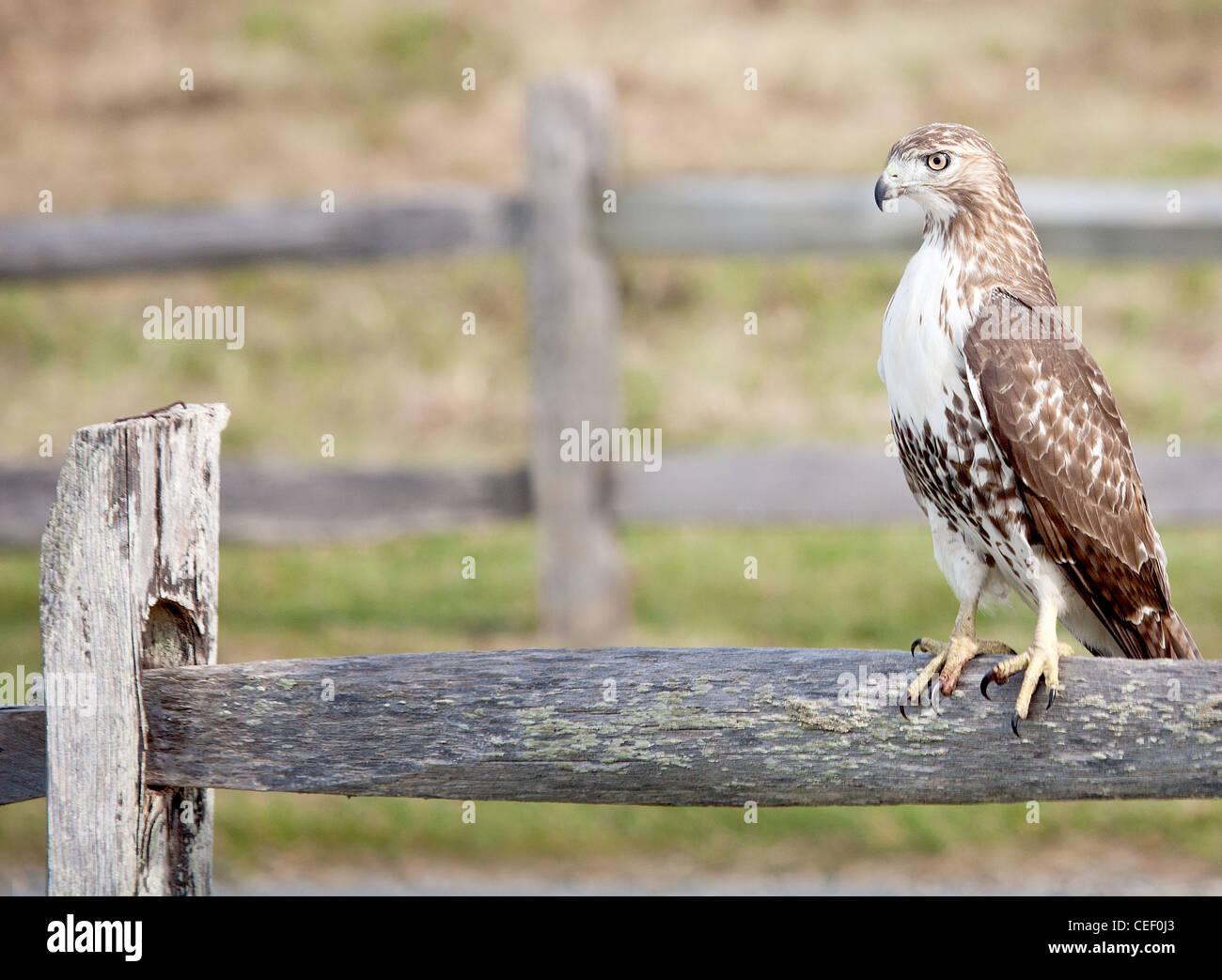 [Image: close-up-of-confident-red-tail-hawk-sitt...CEF0J3.jpg]