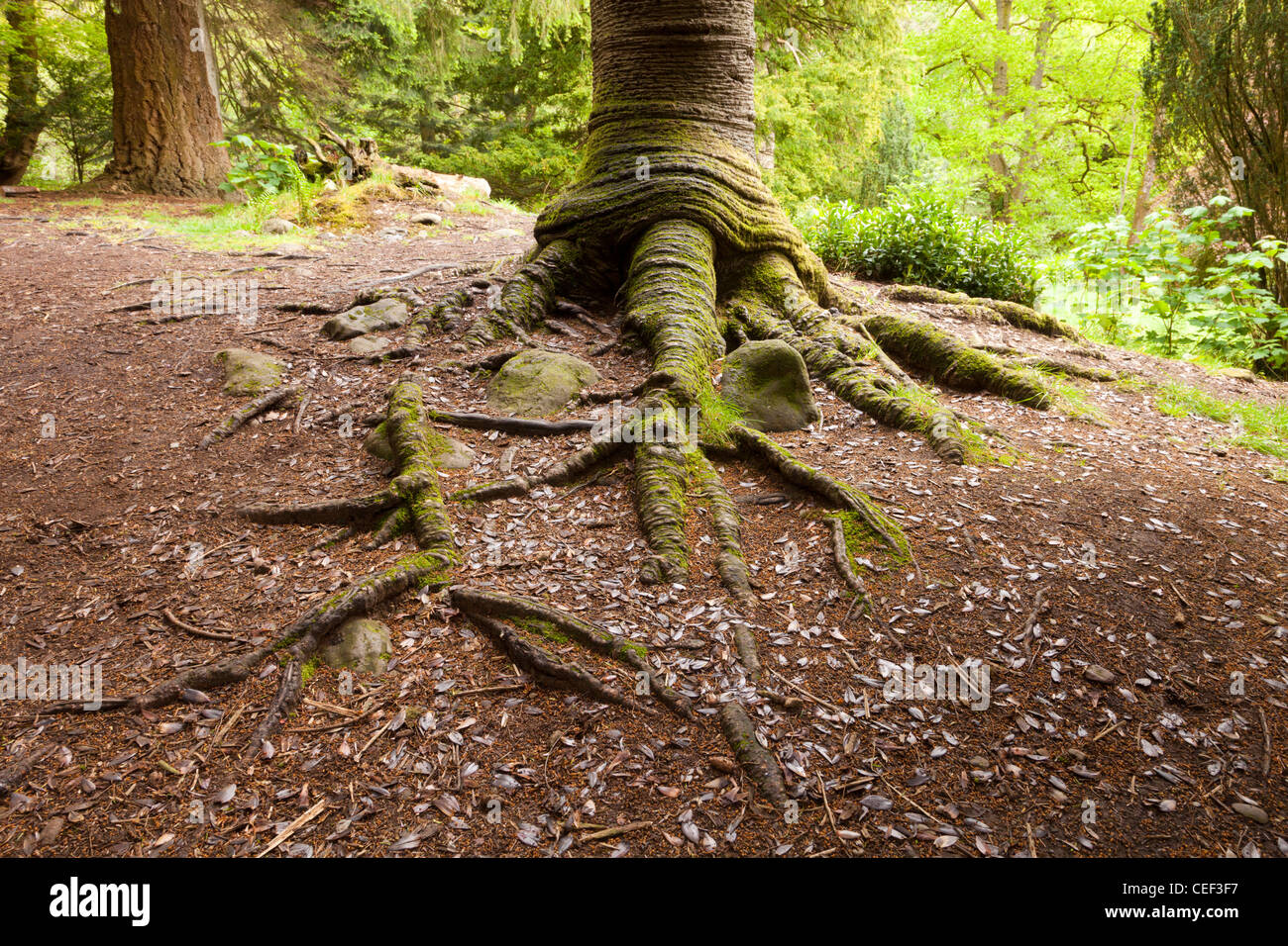 The trunk and roots of a Monkey Puzzle Tree Araucaria araucana growing near Aira Force, Cumbria, England. - Stock Image