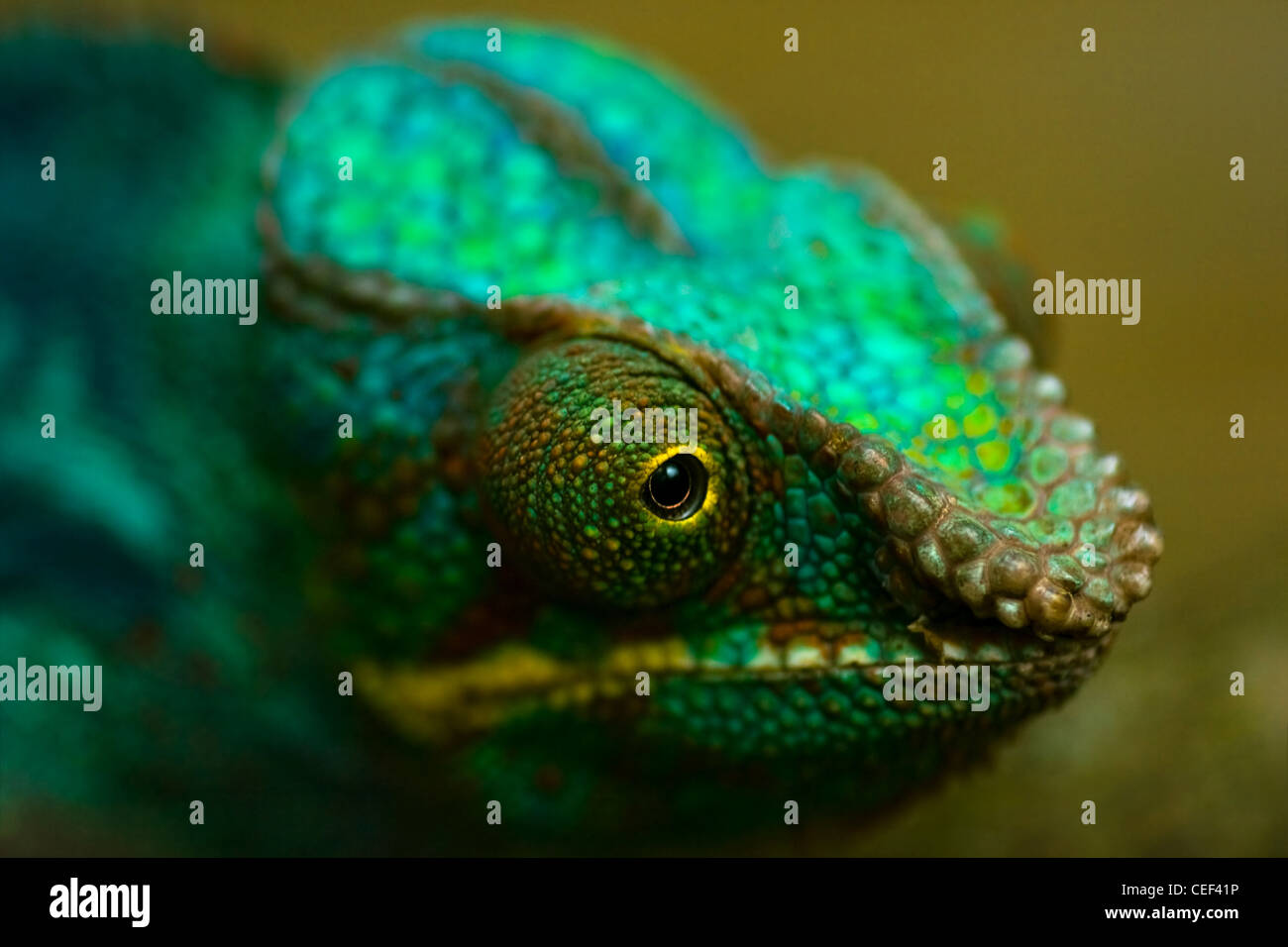 Head of colorful Panther chameleon or Chamaeleo pardalis in close view with shallow dept of field - Stock Image