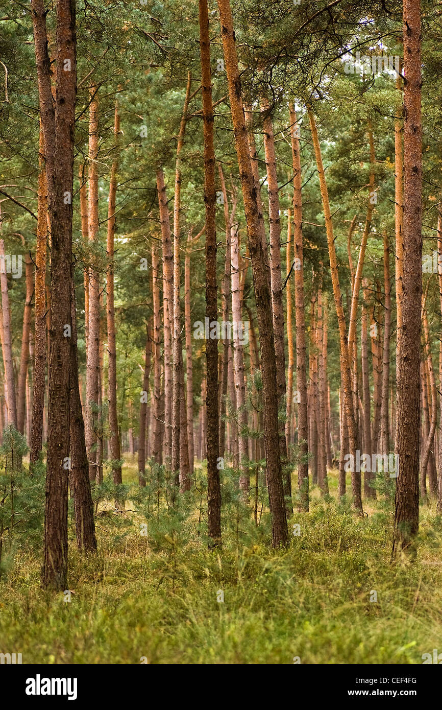 Forest of young and straight pine trees planted for wood on sunny day in summer - Stock Image
